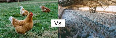 Picture of Organic vs Conventional Farmed Chickens